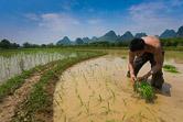 Young farmer sowing rice near Yangshuo. Guangxi province, China. 28.04.08